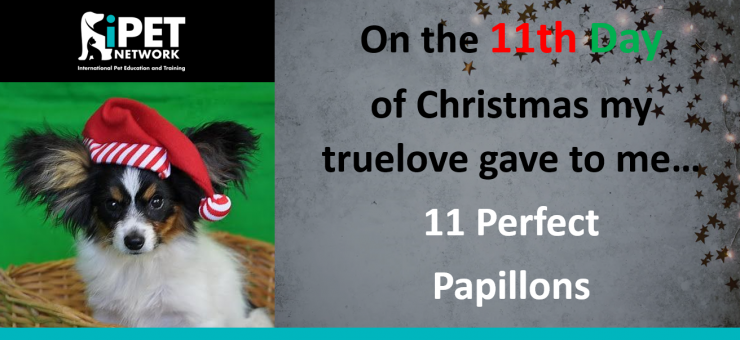 On the 11th day of Christmas my truelove gave to me - 11 Perfect Papillons