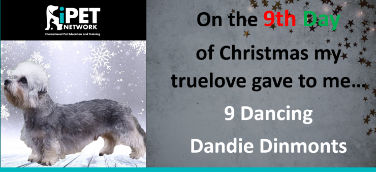 On the 9th day of Christmas my truelove gave to me - 9 dancing Dandie Dinmonts